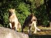Etoscha-Löwen erobern die Freianlage der Löwensavanne Majo und Motshegetsi haben sich gut eingelebt