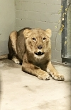Neue Löwin hinter den Kulissen