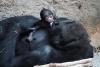 Nachwuchs zum Advent  - Gorillababy geboren
